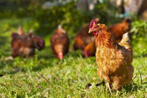 Productenbevatten ei-eiwit afkomstig van kippeneieren van kippen met vrije uitloop