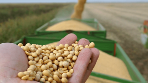 soybean-seeds-in-a-hand-after-good-harvest-of-successful-farmer-combine-harvester-transferring-freshly-harvested-soy-to-tractor-trailer